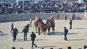 Ayvacık'ta Arenada 3'üncü Deve Güreşi Festivali Yapıldı