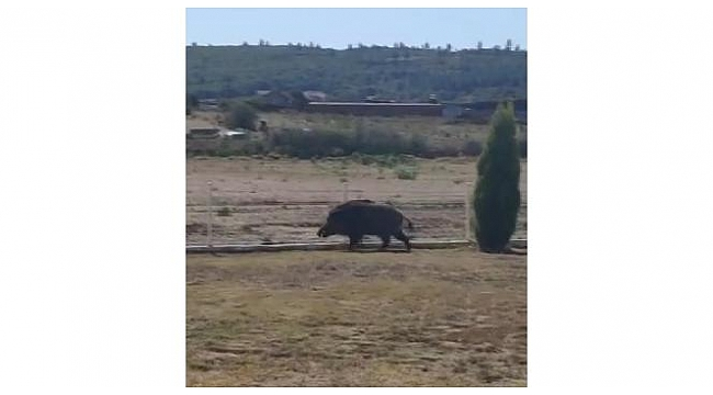 Aç kalan yaban domuzu petrol istasyonuna girdi