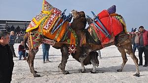 Geyikli'de deve güreşi festivali ilgi gördü