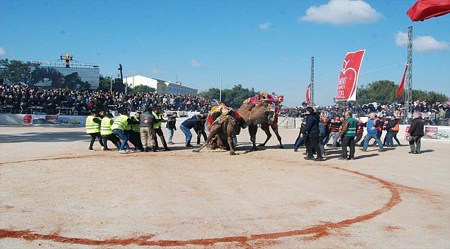 Çanakkale'de deve güreşleri renkli görüntülere sahne oldu