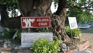 Bursa'da 700 yıllık çınarın 97 yıldır dinmeyen kanlı gözyaşları!